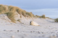 Grey Seal puppy from Helgoland (Germany) (Chris van riel) Tags: seal puppy cute sweet wildlife born sand beach grass dunes young water sea sony a7riii gm gmaster 70200