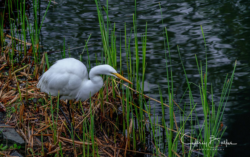 Great Egret On Prowl >> The World S Best Photos Of Egret And Us Flickr Hive Mind