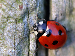 First of 2019! (PJ Swan) Tags: ladybird ladybug insect minibeast red