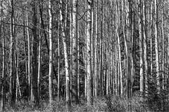Canadian Aspen (photographybytomlane) Tags: leicasl monochrome aspen canada leica blackandwhite
