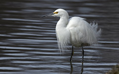 Now the Wait... (Randy E. Crisp) Tags: randyecrisp randycrisp recrisp photography canon400mmf28 canon7dmkii irvingtexas flying winter centralflyway male female greategret fishing centennialpark