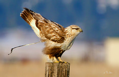 Rough-legged hawk (Thy Photography) Tags: roughleggedhawk raptor animal avian animals bird backyard birdofprey birds outdoor photography prey nature sunrise sunset sonya9 sunshine sanfranciscobayarea california sierracounty sierravalley