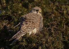 Common Kestrel (falco tinnunculus) (Steve Ashton Wildlife Images) Tags: kestrel common commonkestrel falco tinnunculus falcotinnunculus falcon raptor bird prey birdofprey