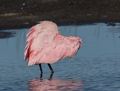 Happy Valentines Day! (ruthpphoto) Tags: roseatespoonbill heart bird