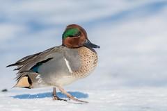 Sarcelle D'Hiver / Green-Winged Teal (ALLAN .JR) Tags: sarcelle hiver greenwingedteal duck canard nature wildlife récréoparc stcatherineqc neige snow