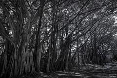 Banyan Tree (tcmealy) Tags: banyan tree hawaii oahu travel nikon d7200 tokina blackandwhite black white nature