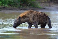 Rare sighting (leendert3) Tags: leonmolenaar southafrica krugernationalpark wildlife nature mammals spottedhyena ngc npc naturethroughthelens