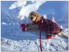 stylin' (BobButcher) Tags: george goldenretriever dog pet anchorage alaska winter snow ice iphone6