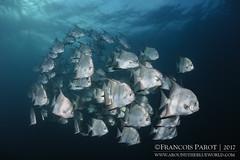 Together (Around The Blue World) Tags: belize underwater sousmarine nikon tokina aroundtheblueworld batfish diving plongée school