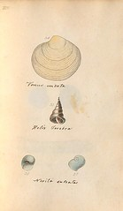 n58_w1150 (BioDivLibrary) Tags: greatbritain mollusks museumsvictoria bhl:page=57640229 dc:identifier=httpsbiodiversitylibraryorgpage57640229 conchologicaldictionary conchology shells britishisles britishislands williamturton british