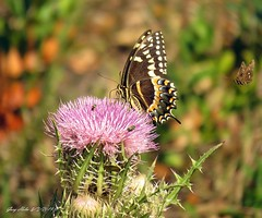 """ Bad Rep"" (Gary Helm) Tags: butterfly skipper fly flight flutter greenbees nector thistle flower wildflower florida osceolacounty three lakes wildlife management threelakeswma macro insect bug floridawildllife nature outside outdoor photograph image animal ghelm4747 garyhelm canon camera sx60hs usa northamerica joeoverstreetroad powershot thorns"