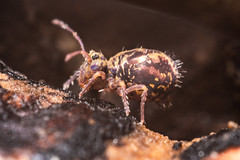 Springtail (Shane Jones) Tags: springtail collembola bug arthropod wildlife nature nikon d810 24mmf28reversed pk3extensiontube pk3x2 macro macrolife macrophotosnolimits macrolicious