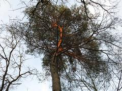 the pine tree (vertblu) Tags: pine pinetree lookingup eveningsun eveninglight lowsun baretrees baretwigs skies trees treecrown likeanetching inthewoods intothewoods vertblu