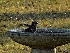 Whimsy: Whoeeeeee!! (boriches) Tags: bird bath splash ozarks missouri blackbird
