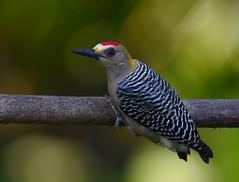 Hoffmann's Woodpecker (anacm.silva) Tags: hoffmannswoodpecker picapau woodpecker ave bird wild wildlife nature natureza naturaleza birds aves tárcoles costarica melanerpeshoffmannii