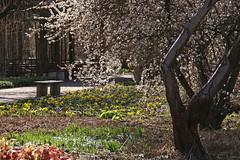 Mainz, Botanischer Garten im Frühling (Botanical Garden in Spring) (HEN-Magonza) Tags: botanischergartenmainz mainzbotanicalgardens frühling spring flora rheinlandpfalz rhinelandpalatinate deutschland germany