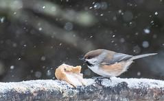 borealchickadee-7132 (h.redpoll) Tags: borealchickadee minnesota saxzimbog winter