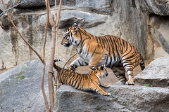 Sumatran Tiger Cubs at Tierpark Berlin (mw238) Tags: berlin tierpark tierparkberlin zoo wildlife animal animals canon canoneos6d tiger sumatratiger sumatra sumatrantiger tigercubs sumatrantigercubs nachwuchs tigerbaby jungtier jungtiere