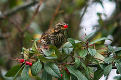 Redwing with Berry (Eskling) Tags: redwing bird berry cotoneaster red