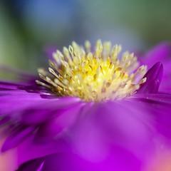 Colorspot (Martin Bärtges) Tags: pink gelb yellow farbt colorful naturephotography naturfotografie natur nature makrofotografie macrophotography detail makro macro nikonphotography nikonfotografie d7000 nikon blossoms blumen blüten flowers