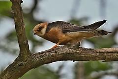 R91A5088 (chavko) Tags: jozefchavko canon flickr bird hawk chavko falco vespertinus redfooted falcon slovakia sky animal photo tree forest people