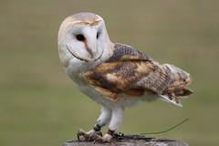 IMG_1425 (Stefan Kusinski) Tags: hemsley duncombe ncbp birdofprey
