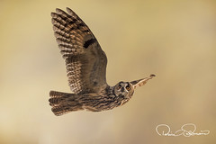 750_0169owls (TARIQ HAMEED SULEMANI) Tags: sulemani tariq tourism trekking tariqhameedsulemani winter wildlife wild birds nature nikon