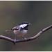 Coal Tit - Zwarte mees (Periparus ater) ... (Martha de Jong-Lantink) Tags: 2018 boshut coaltit periparusater schaijk vogel vogelhut vogels zwartemees