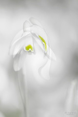 Snowdrop (IngridVD. Photography) Tags: sneeuwklokje snowdrop canon macro white wit flower bloem groen green soft softbg art nature abstract