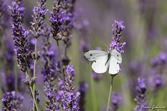 Butterfly in lavender field (darko.jakovac) Tags: nikon d750 nikond750 sigma 150600 sigma150600 contemporary telephoto dolenjska slovenija slovenia slowenien discover explore trip travel traveling relax view viewpoint ngc outdoor outdoors outside hiking adventure perspective activities roam visit environment explorers ecological nature landscape scenery scenic idyllic beauty beautiful season seasonal unique perfect superb magnificient stunning impressions outstanding popular perfection colors colorful postcard wallpapper countryside rural field butterfly lavender inbloom grassland floral purple natural naturephoro naturephoto