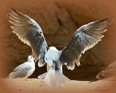 Spread your wings (Phil*ippe) Tags: beach seagull algarve spreadyourwings wings fly sand rock