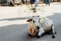 Cow in Traffic, Varanasi India (AdamCohn) Tags: adam cohn ganga ganges india uttarpradesh varanasi cow streetphotographer streetphotography traffic wwwadamcohncom adamcohn
