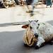 Cow in Traffic, Varanasi India