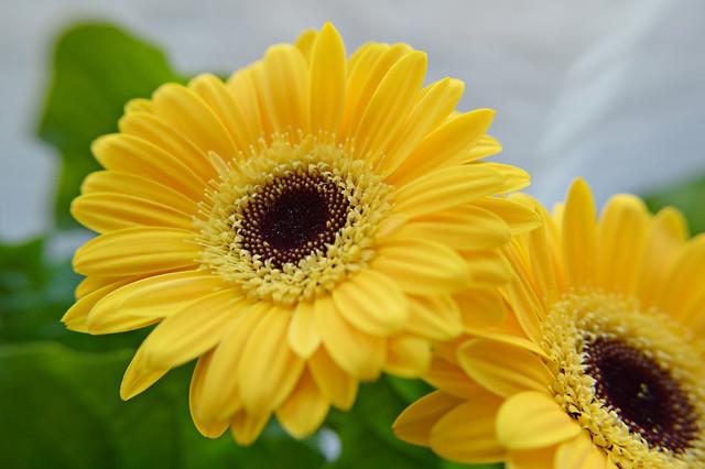 Обои макро, дуэт, герберы, жёлтые картинки на рабочий стол, раздел цветы - скачать