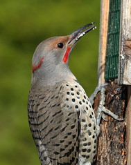 Intergrade Red-shafted, Yellow-shafted Northern Flicker (brian.bemmels) Tags: redshaftedyellowshaftednorthernflicker northerflicker flicker nature fauna outdoors wildlife bird birdsofbc richmond bc britishcolumbia canada male integrate