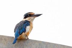 Sacred kingfisher (Maureen Pierre) Tags: sacredkingfisher watchful perching native newzealand bird xt2 fujifilm