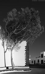 A tree - Lanzarote - Santo Domingo (KnutAusKassel) Tags: tree bw blackandwhite blackwhite nb noirblanc monochrome black white schwarz weiss blanc noire blanco negro schwarzweiss grey gray grau einfarbig lanzarote santodomingo