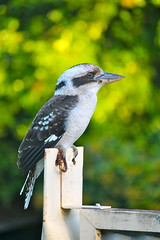 Always Arrives When the Barbeque Is Lit (adamsgc1) Tags: kookaburra bird australianbird oxley brisbane queensland native nature