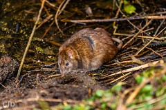 Water Vole (CJD imagery) Tags: canonef70200mmf28lisiiiusm canoneos80d winter outdoors wildlifephotography wildlife naturephotography nature vole watervole hertfordshire hoddesdon ryemeads rspbryemeads england gb greatbritain uk unitedkingdom
