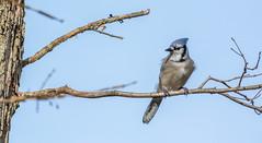 _DSC0172 (johnjmurphyiii) Tags: 06416 birds connecticut cromwell originalnef shelly tamron18400 usa wildlife winter yard johnjmurphyiii