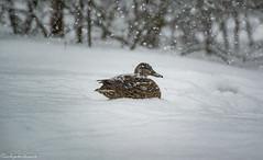 (sebsphotosadv) Tags: winter snow nikond3s nikon200500mmf56 ducks white hiver neige wildlifephotography birdphotography photoanimale