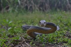 Coastal Taipan (Oxyuranus scutellatus) (shaneblackfnq) Tags: coastal taipan oxyuranus scutellatus shaneblack snake reptile elapid dangerous venomous fnq far north queensland australia tropics tropical julatten