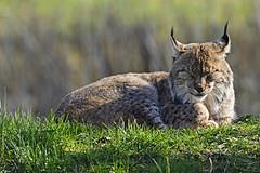 Luchs (Michael Döring) Tags: gelsenkirchen bismarck zoomerlebniswelt zoo luchs lynx afs600mm40e d7200 michaeldöring