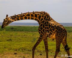AMBOSELI (RLuna (Instagram @rluna1982)) Tags: kenya africa fauna naturaleza girafa masai amboseli safari 4x4 viaje vacaciones holidays photo canon rluna rluna1982 karibu hakunamatata polepole wildlife kenianairlines flysafarilink spotlight instagramapp photography igersspain elefante