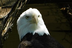 Washington Park Zoo (Tiger_Jack) Tags: washingtonparkzoo zoo zoos zoosofnorthamerica indiana animals animal bird birds eagle eagles baldeagle baldeagles nikon nikoncoolpix nikoncoolpixb500