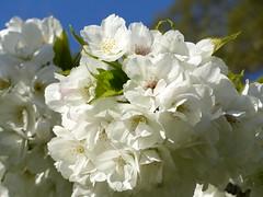 Blossum (DavidCooperOrton) Tags: 365the2019edition 3652019 day86365 27mar19