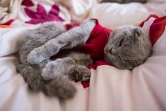 Sleeping with one eye open (n8fire) Tags: fujixt3 fujinonxf16mmf14rwr piura scottishfold cat