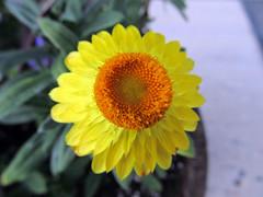 Yellow Strawflower Blossom (daryl_mitchell) Tags: summer 2018 saskatoon saskatchewan canada flower garden xerochrysum bracteatum