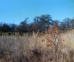 Giraffes (Andy961) Tags: africa zimbabwe rhodesia gamepark safari animals giraffe wildlife landscape