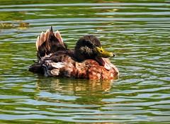 El baño (carlos_ar2000) Tags: pato duck agua water onda wave ave pajaro bird naturaleza nature animal reflejo reflected reflection lago lake palermo buenosaires argentina
